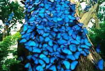 Blauwe Morpho vlinders