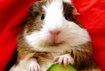 Guinea pigs / by Kim Gorsage