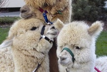 Alpacas & llamas are great.