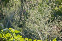 Garden: Companion Planting
