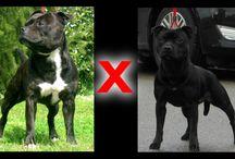 CUCCIOLI ( puppies ) / selezioniamo staffordshire bull terrier tipici , nel rispetto dello standard di razza e della salute