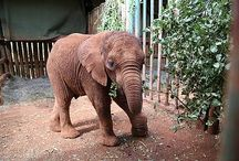 The DSWT // Mwashoti / Mwashoti was rescued on the 9th of March 2015 with an horrendous snare wound, that cut through the joint leaving the baby extremely compromised. Despite all possible efforts to ensure his healing next to his mother in the wild for over one month, the wound did not heal and needed every day attention. The decision was made to safe the baby elephant and bring him back to the DSWT. / by David Sheldrick Wildlife Trust