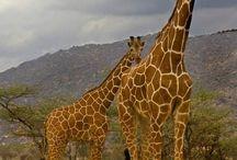 Ζώα-καμήλα-καμηλοπάρδαλη