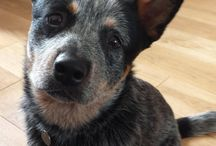 ACD / Australian Cattle Dogs / by BrownEyed Girl