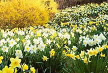 Favorite Daffodil Mixes