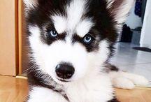 Siberian Husky!!!