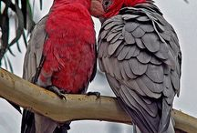 Galah's & Other Australian Birds / We have rescued a female Galah who cannot be reintroduced back into the wild unfortunately, but we also love all the beautiful Australian birds.