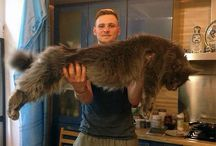 Amazing Maine Coons
