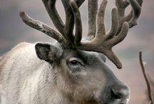 Caribou & Deers