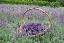 Fragrance of Lavender & Lilac / Fragrance
