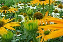 Vaste planten / Vaste planten zijn kruidachtige planten die 's winters bovengronds afsterven en ondergronds overwinteren. Ze schieten elke lente terug op met uitzondering van de wintergroene vaste planten die bovengronds niet afsterven. Het aanbod van vaste planten is ongelooflijk uitgebreid zodat men een grote keuze heeft in vorm, hoogte, bladkleur, bloemkleur, bloemvorm, bloeitijdstip enzovoort. Bovendien is er voor elke plek in de tuin wel een vaste plant te vinden,