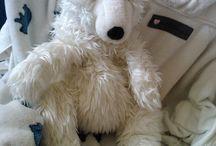 Polar bear - Ursus maritimus - Jegesmedve