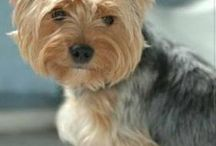 Yorkshire Terrier, chiens et chiots / yorkshire terrier a donner  yorkshire terrier caractère  yorkshire terrier prix  yorkshire terrier a vendre  chien yorkshire a vendre  yorkshire poil court  yorkshire miniature  yorkshire terrier toy