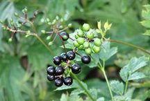 Norrbottens flora / Plantor som är vildväxande i Norrbottens län, främst i Älvsbyns kommun. Syftet är att undersöka om det går att arrangera en blomrabatt med växter från mitt närområde, utan att det blir vildvuxet och belamrat med ogräs. Källa; Norrbottens Flora del 1. Älvsbyns kommun håller zon 6-7.