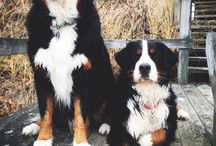 Bernese Montain Dog