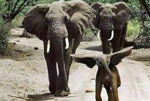 állatok, elefánt
