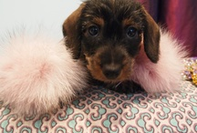 Honey B / The adorable Honey B - Cleo's miniature wire haired Dachshund.