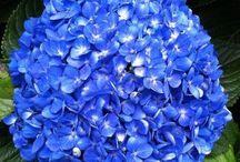 OUR FLOWERS / HYDRANGEAS