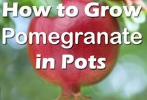 grow promogranate in pots