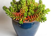 Obsession : Succulents / A collection of pics of the varieties of succulents I have acquired so far.