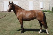 Le Criollo Argentin / L'histoire du Criollo Argentin commença en 1535 avec l'introduction d'environ cent Andalous et quelques chevaux de trait par Don Pedro Mendoza, dans la région connue sous le nom de Nouvelle Toledo, qui est aussi le fondateur de Buenos Aires.