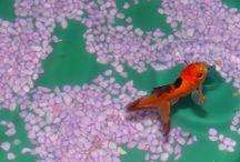 Mes pichons ...;-) Voiles de Chine / Aquarium le  3    avec 3 voiles de Chine ..