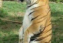 Gruby tygrys