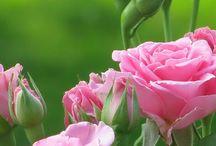 art - Розы
