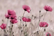 Poppies- Mohn - Papaver / Mohn, Poppies, Poppy, Papaver  Pls 5 postings a day only, invite your friends if you like <3