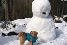 Poogie  / Mixbreed. Toy poodle and chihuahua  / by Helen's Delight