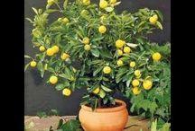limon çekirdeğinden limon yetiştirme.