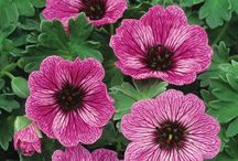 .  Gorgeous Geranium  .