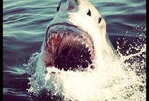 Instasharks / White sharks + instagram = Instasharks