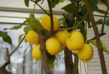 citroenen in kas kweken