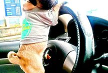 pug is Driveing