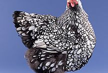 My Chicken  Friends / In season I breed laced Wyandotte chickens. They are stunning to look at and produce loads of eggs as well. I'm always looking for ways to improve so this board will help when my memory fails me.......
