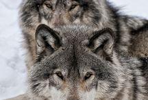 Nos zAmis les Loups...