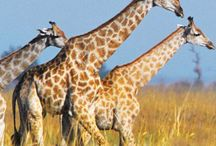 Animals of the Savanna / Giraffes, cheetashs, Hippos, Oh my!