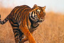 King Tigers