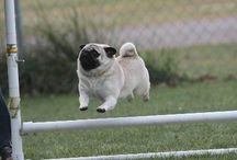 Athletic Pugs