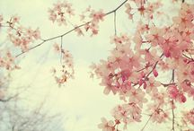Cherry Blossoms / Inspiration for Resume Theme
