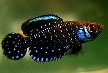 Peixes de Água Doce - Killifish