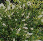 Doftande växter