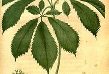 Ilustración botanica