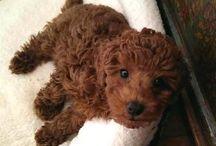 fuzzy toy poodles