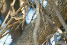 Australian Small Bird Collection