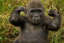 gorilas y monos