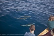 California Whale Watching Adventures / Whale watching adventures aboard the Condor Express.