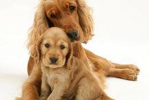 ||Cocker Spaniel||Puppies||