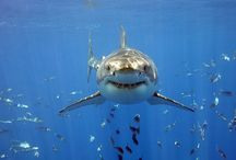 Sharks / Expressing my love of sharks and inspiring others / by Lindsey Dimick